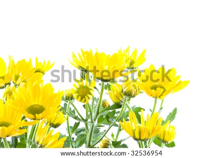 flowers of a chrysanthemum