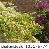 Flowers of a white and pink bougainvillea in an inflorescence on bushes. Background. - stock photo