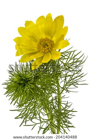 Flowers of Adonis, lat. Adonis vernalis, isolated on white background - stock photo