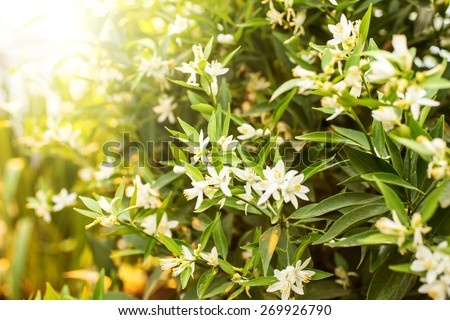 Flowers of an orange tree among leaves. Close up. - stock photo
