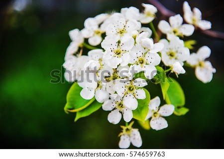 Flowers of apple. Bright spring background.