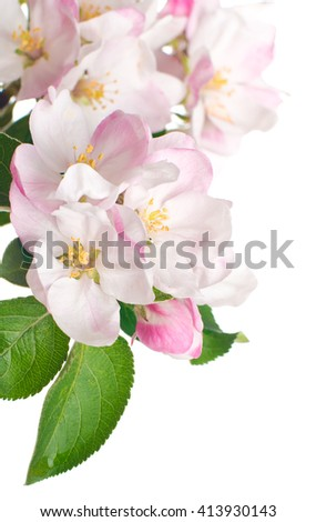 Flowers of apple. isolated