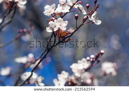 Flowers of  apple or cherry blossoms on a spring day - stock photo