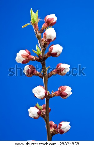 Flowers of apricot on a blue background.