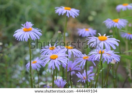 Flowers of blue camomiles in the garden in sunny weather. Beautiful flowers are nice idea for your new poster or photo. - stock photo
