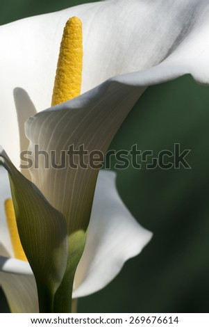 Flowers of calla on green background - stock photo