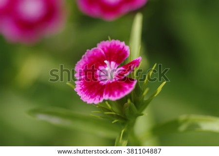 Flowers of carnations in the garden
