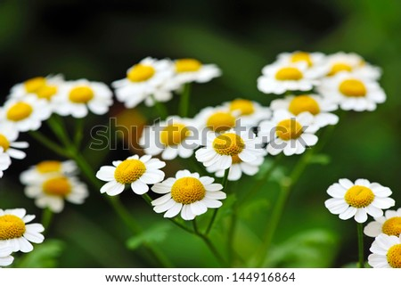 Flowers of Chamomile - stock photo
