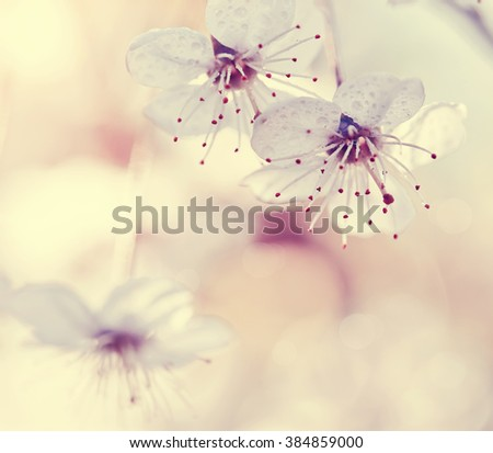 Flowers of cherry in a sunlight on a spring day - stock photo