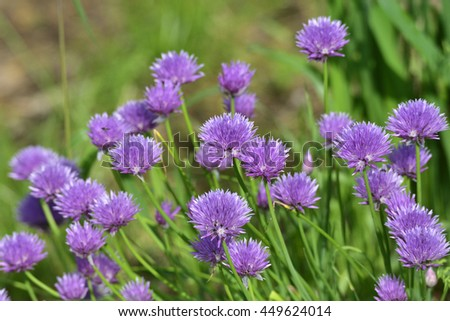 Flowers of chives - stock photo