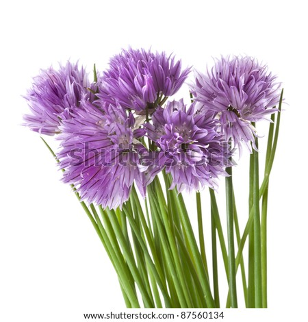 Flowers of Chives isolated on white background - stock photo