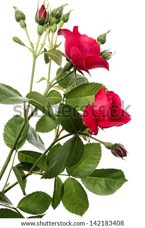 Flowers of climbing rose isolated on a white background - stock photo