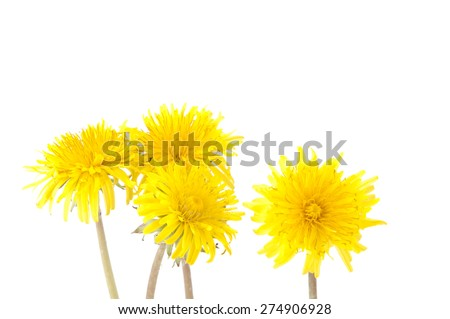 flowers of dandelion isolated on a white background - stock photo
