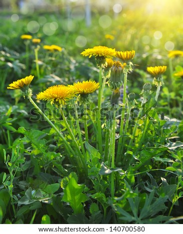 Flowers of dandelion (Taraxacum officinale) are in the rays of a sun - stock photo