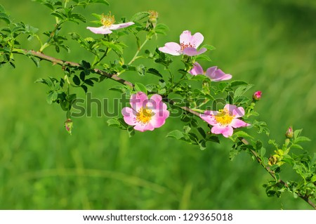Flowers of dog-rose (rosehip) growing in nature - stock photo