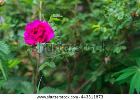 Flowers of dog rose (rosehip) growing in nature
