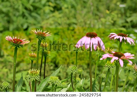 Flowers of Echinacea purpurea or Eastern Purple Coneflower in different stages growing in garden. Copy space, shallow depth of field. - stock photo
