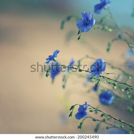 Flowers of flax at softly blurred background - stock photo