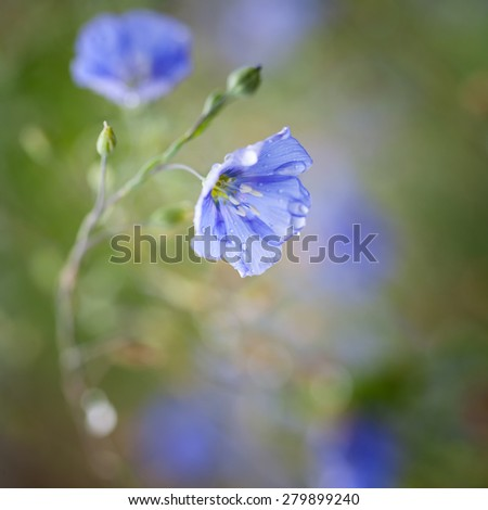 Flowers of flax at softly blurred background (soft focus) - stock photo
