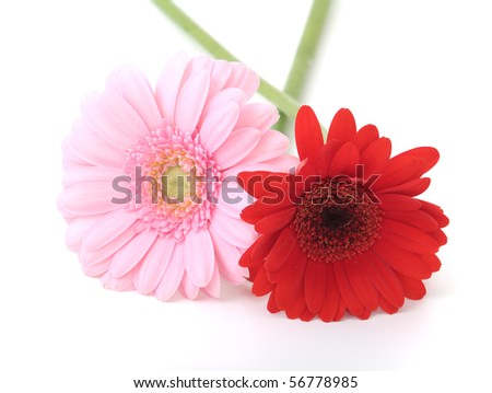 flowers of gerbera isolated on white background
