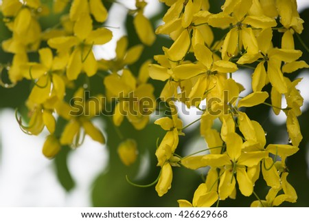 Flowers of Golden Shower Tree bloom with drops after raining in summer.