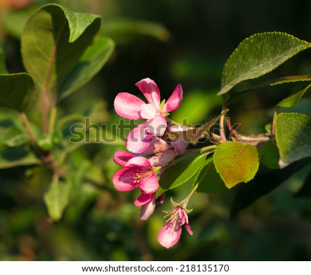 Flowers of hibiscus plant in the summertime garden - stock photo