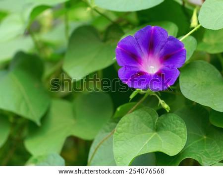 Flowers of Ipomoea purpurea (Morning Glory) - stock photo