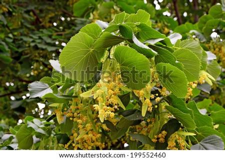 Flowers of linden-tree - stock photo