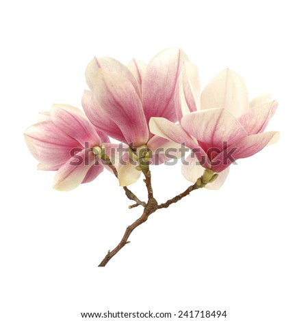 flowers of magnolia and white space  - stock photo