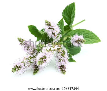 Flowers of mint - stock photo