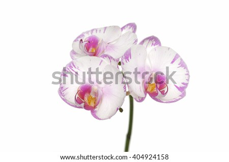 flowers of orchid, phalaenopsis is isolated  - stock photo