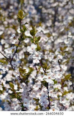 flowers of paradise apple - stock photo