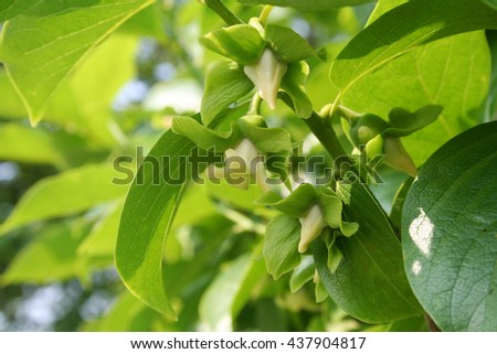 Flowers of Persimmon tree