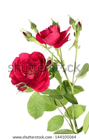 Flowers of red climbing rose isolated on a white background - stock photo