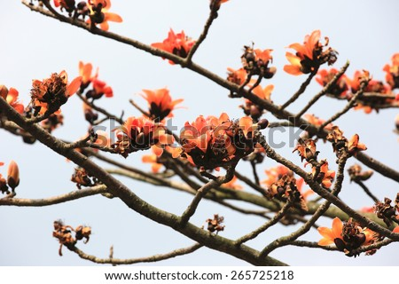 Flowers of red silk-cotton tree,closeup,many flowers blooming on the tree branch in a park in spring,cotton tree,common bombax - stock photo