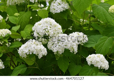 Flowers of smooth hydrangea ( Hydrangea arborescens )