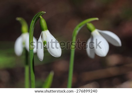 Flowers of snowdrop. Closeup - stock photo