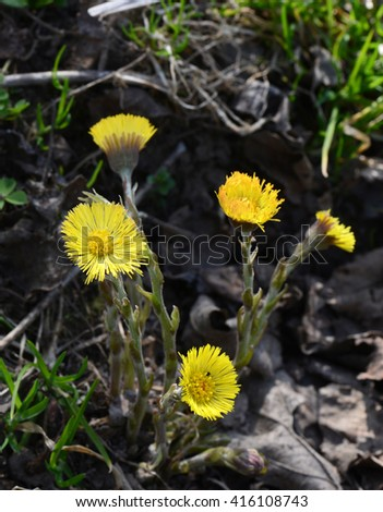 Flowers of spring coltsfoot