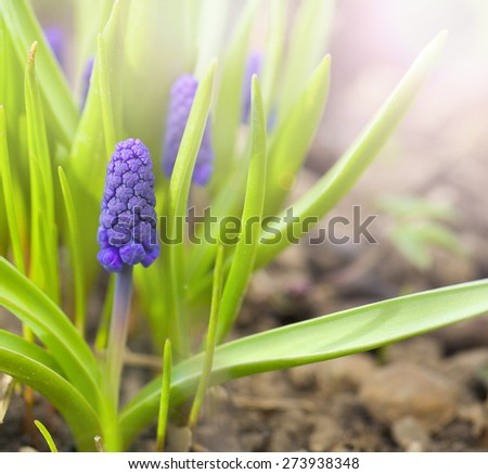 Flowers of Spring. Flowering Muscari in the Sunny Spring Garden. - stock photo