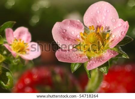 flowers of strawberries - stock photo
