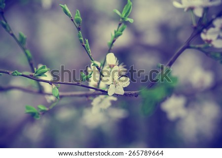 Flowers of the cherry blossoms. Blue toned - stock photo
