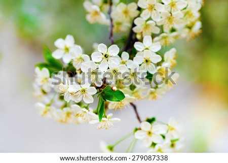 Flowers of the cherry blossoms on a warm sunny spring day on the bright blurred background. Blossoming tree. Shallow depth of field. Selective focus. - stock photo