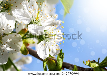 Flowers of the cherry tree, pink backgrounds - stock photo