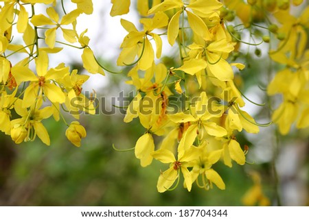 Flowers of the Golden Rain Tree close-up