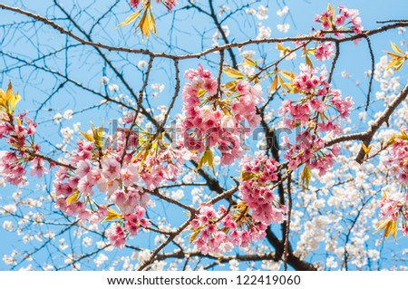 Flowers of the pink cherry blossoms on a spring day - stock photo