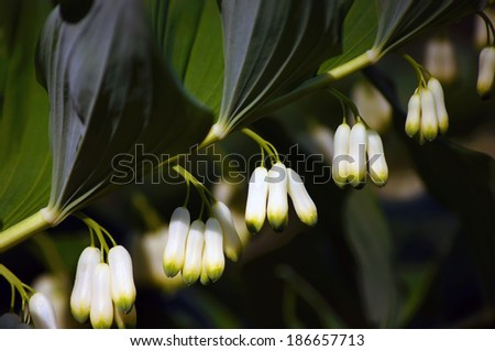 Flowers of the Polygonatum multiflorum - medicinal plant, commonly known as Solomon's seal, or David's harp.