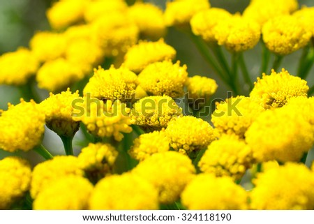 Flowers of the tanacetum. - stock photo
