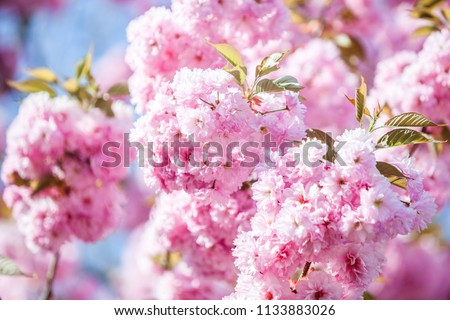 Flowers of the tree blossoms in pink on a spring day with bold blue sky background - close up