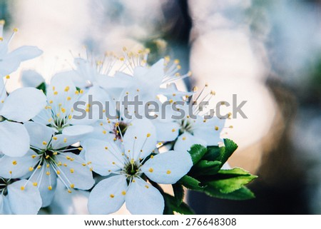 Flowers of the tree blossoms on a spring day - stock photo