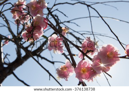 Flowers of ume of blooming in Japan, early spring.
